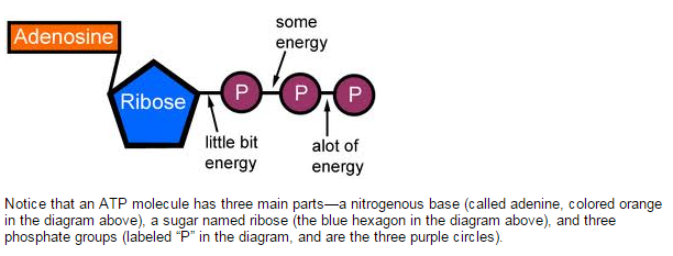 ATP: The  Energy  Currency for the Cell  1_cell11