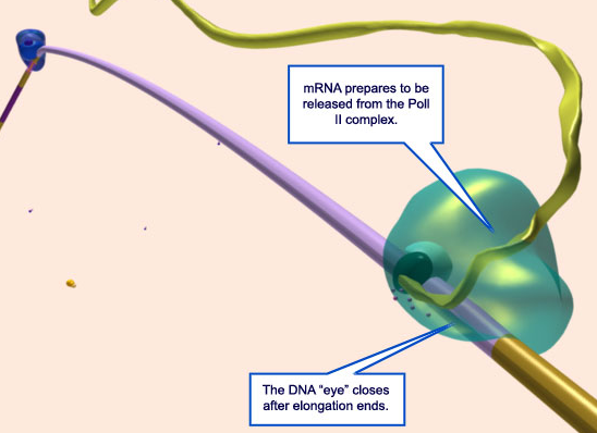 The RNA polymerase enzyme and its function, evidence of design 2110
