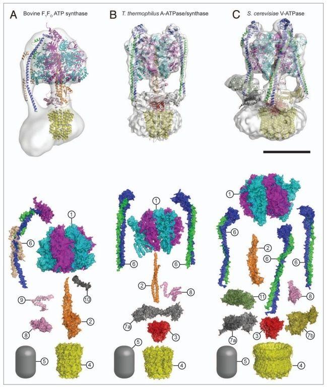 The irreducibly complex ATP Synthase nanomachine, amazing evidence of design 353510