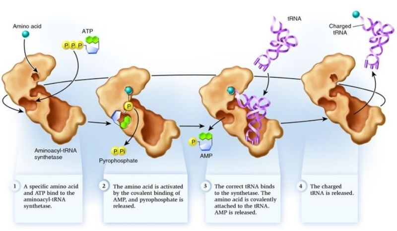 Origin of translation of the 4 nucleic acid bases and the 20 amino acids, and the universal assignment of codons to amino acids Aminoa10