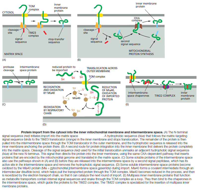 The Transport of Proteins into Mitochondria  Angelo11