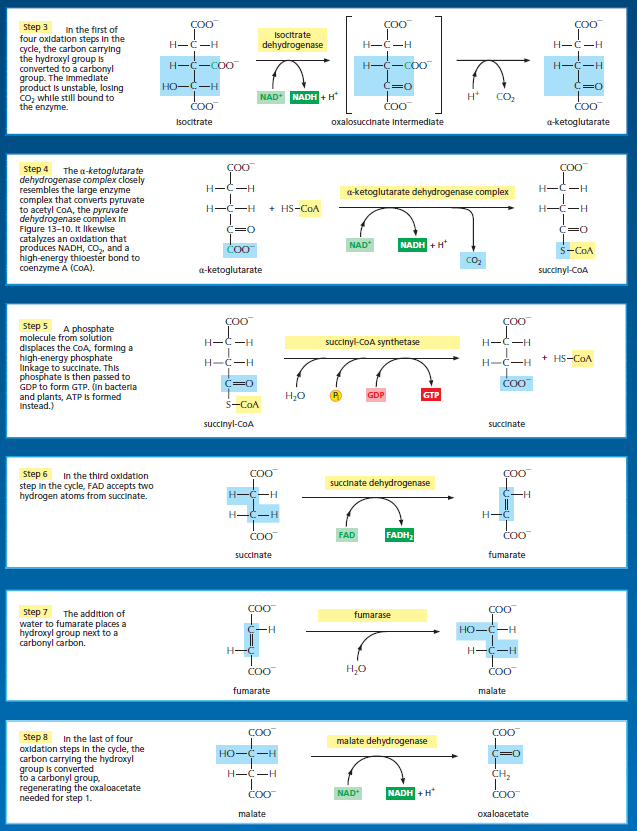 The Citric acid cycle, or Krebs (TCA) cycle Asdad10
