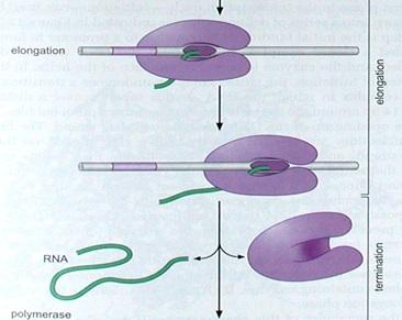 Initiation, Elongation and termination  by RNA polymerase II Asdasa10