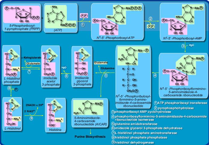 Amino Acids: Origin of the canonical twenty amino acids required for life Biocar11