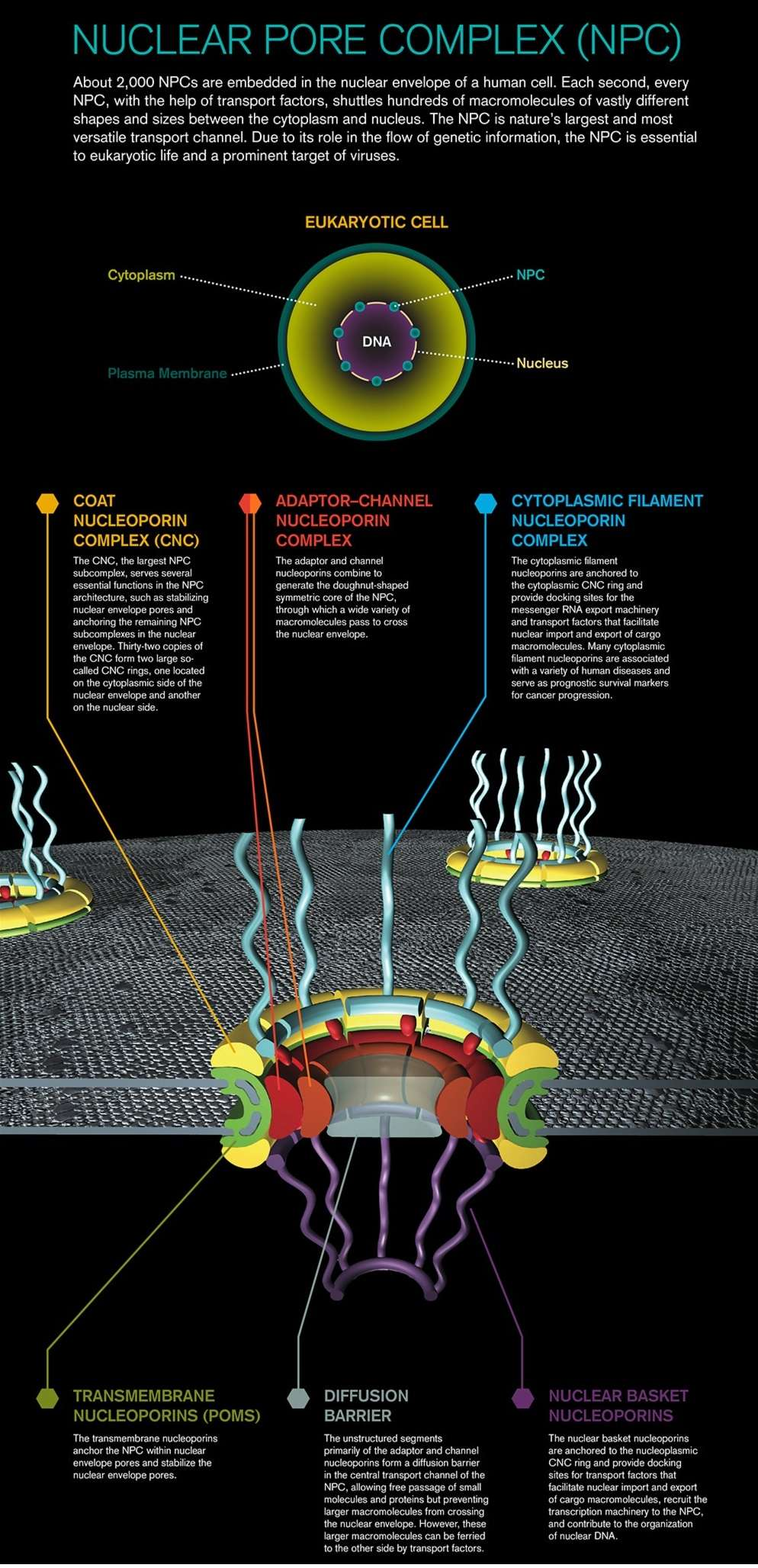 Nuclear pore complexes. Design, or evolution ?  Caltec13