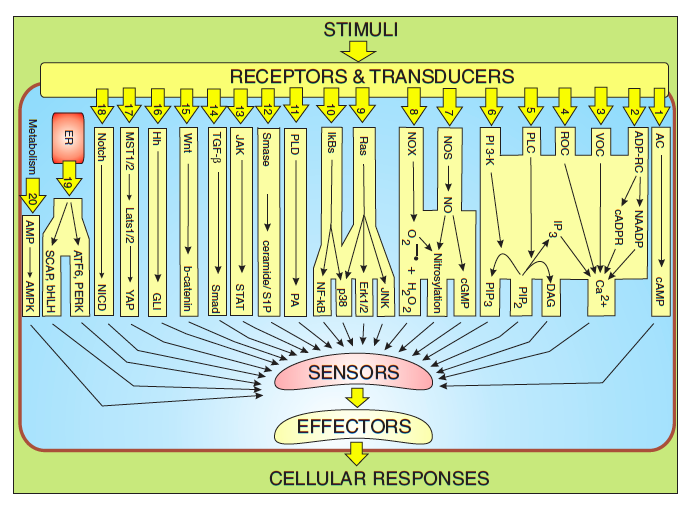 Complexity of the cell's transport and communication system Cell-s11