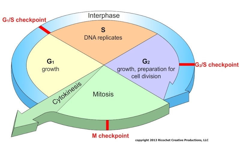 The Cell cycle Cell_c10