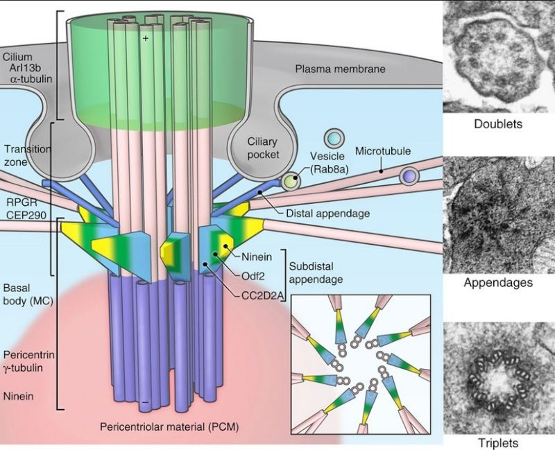 Primary Cilium a Cell's Antenna or Its Brain Centri10