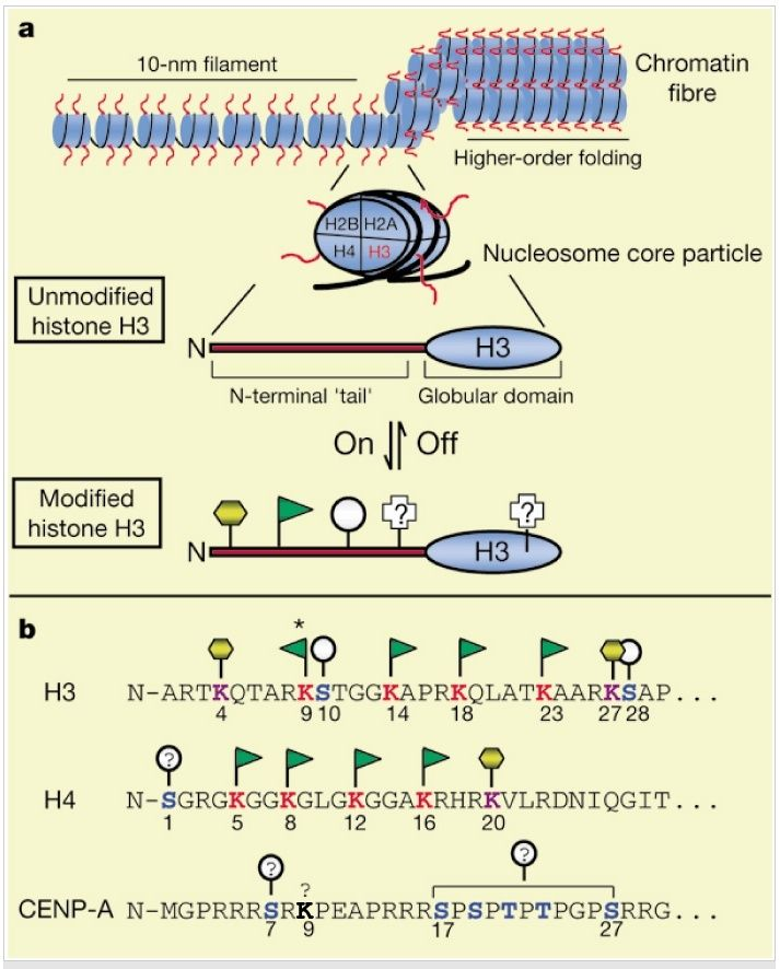 The amazing organisation and design of DNA, genomes, histones, nucleosomes chromosomes Chroma11