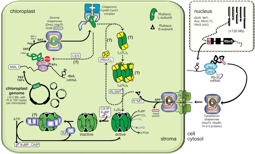 The Rubisco enzymes amazing evidence of design Dfdfgd12