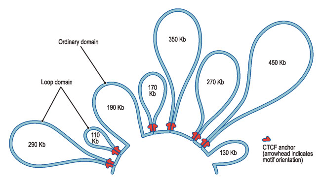 The amazing organisation and design of DNA, genomes, histones, nucleosomes chromosomes Dna-lo10