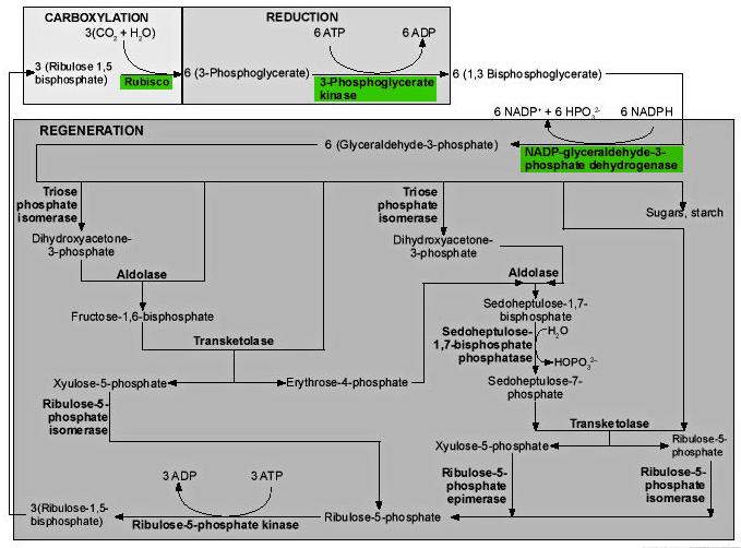 The Calvin Benson cycle Dsfgdf10