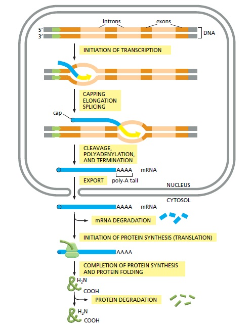 The complexity of  transcription through RNA polymerase enzymes  and general transcription factors in eukaryotes Erwerw11