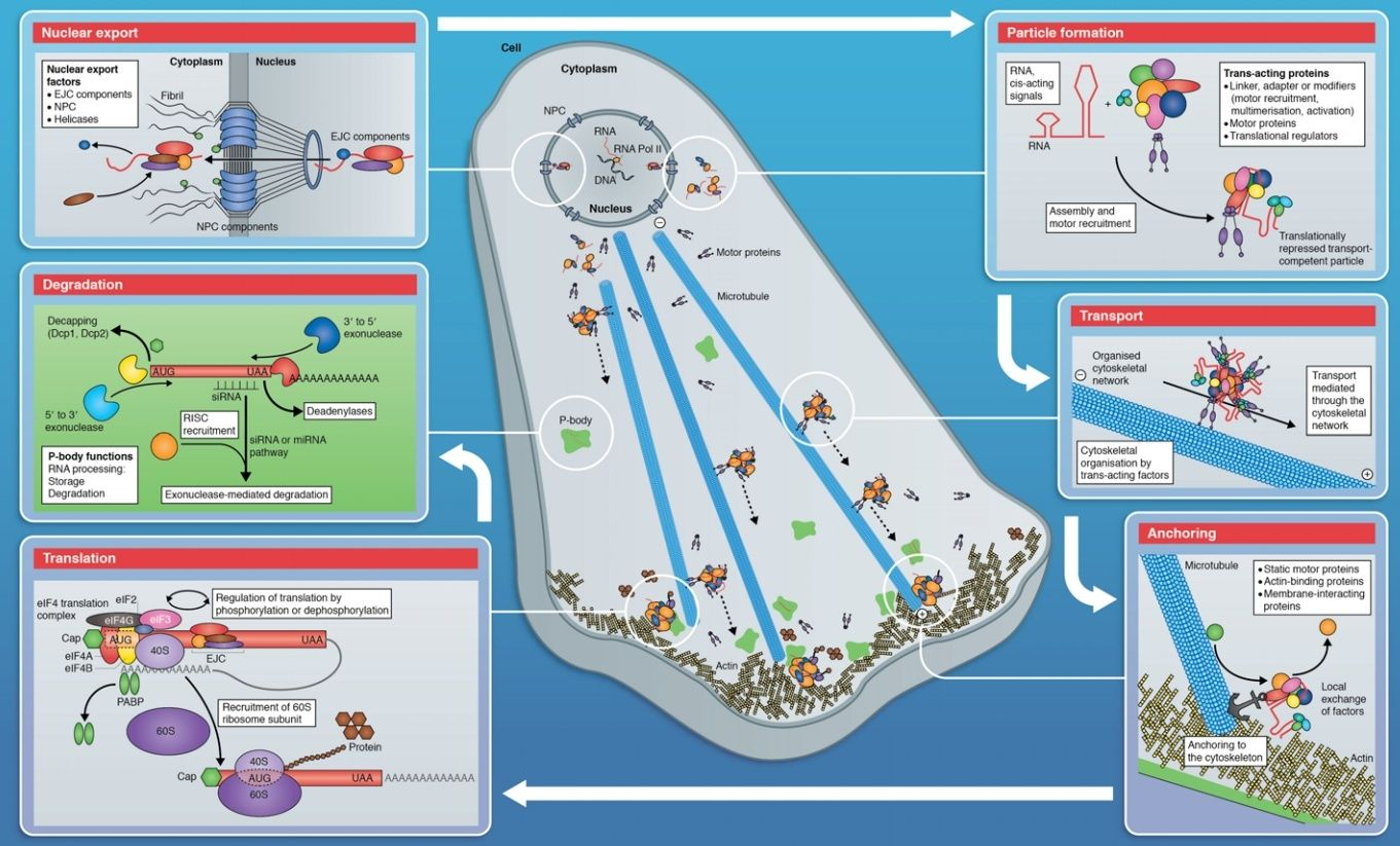 Complexity of the cell's transport and communication system Erwwe10