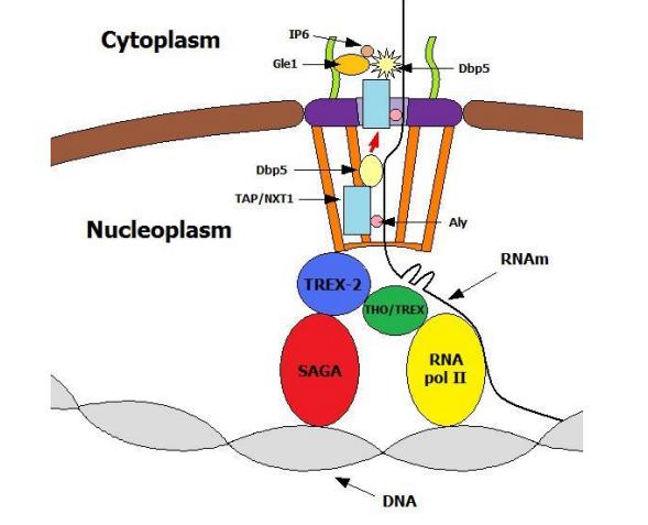 Nuclear pore complexes. Design, or evolution ?  Erwweu10