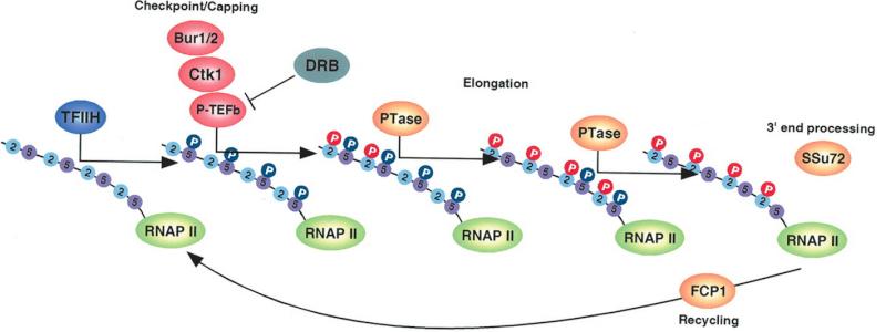 Initiation, Elongation and termination  by RNA polymerase II F1_lar10