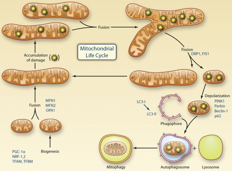 The Mitochondrion F1_lar15