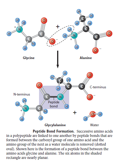 Peptide bonding of amino acids to form proteins and its origins Fdggd10