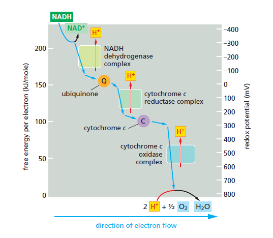 The Mitochondrion Fgdf10