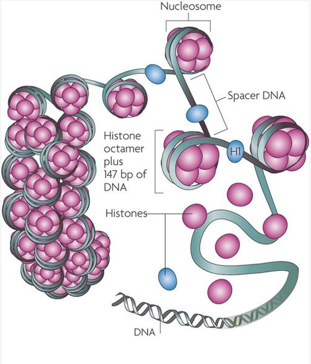 The amazing organisation and design of DNA, genomes, histones, nucleosomes chromosomes Figure10