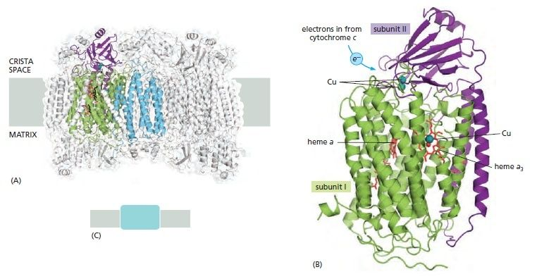 Cytochrome c reductase and oxydase Gfdfgd10