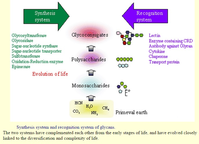 "Carbohydrates and glycobiology:  the ""3rd alphabet of life"" after DNA and proteins Glycow10"