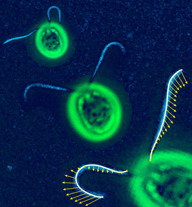 Primary Cilium a Cell's Antenna or Its Brain Greena10