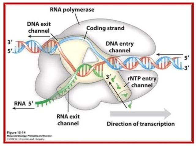 The RNA polymerase enzyme and its function, evidence of design Image10