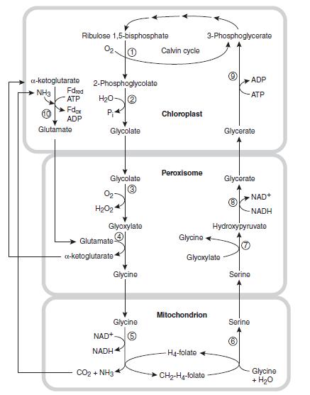 The Calvin Benson cycle Itutiu11