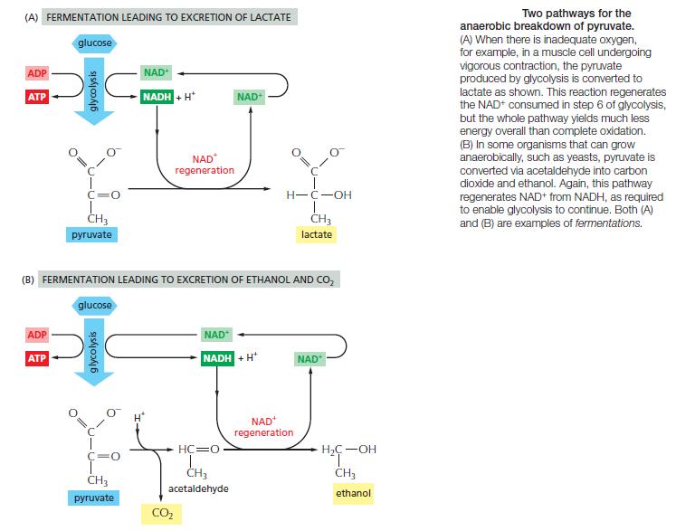 HOW CELLS OBTAIN ENERGY FROM FOOD Jkyu10