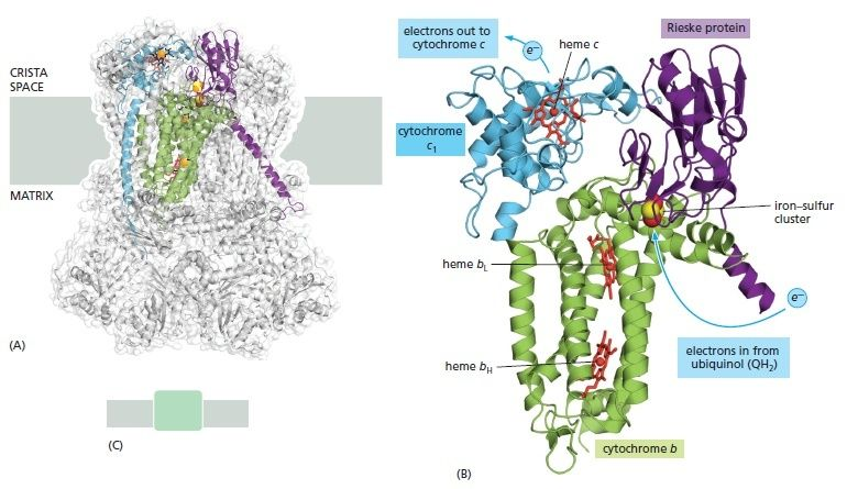 Cytochrome c reductase and oxydase Knjjkl10