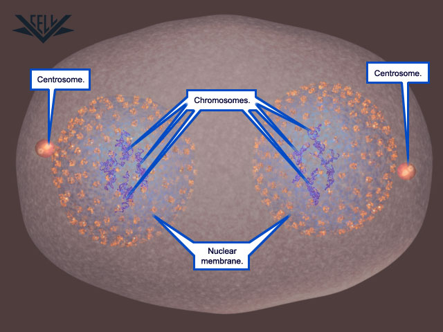 The Cell cycle Mitosi16