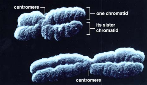 Chromosome condensation and compaction is nothing short than awe-inspiring, amazing evidence of setup by a supreme intelligence. Mitoti10