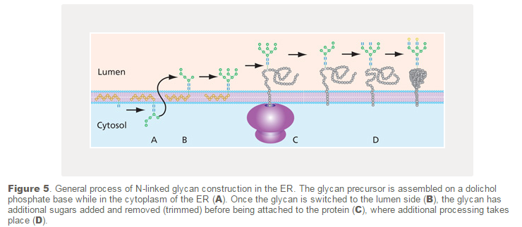 "Carbohydrates and glycobiology:  the ""3rd alphabet of life"" after DNA and proteins N_link10"