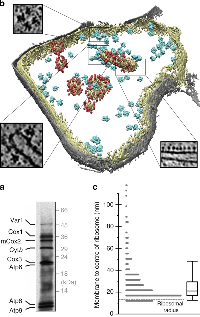 The Mitochondrion Ncomms18