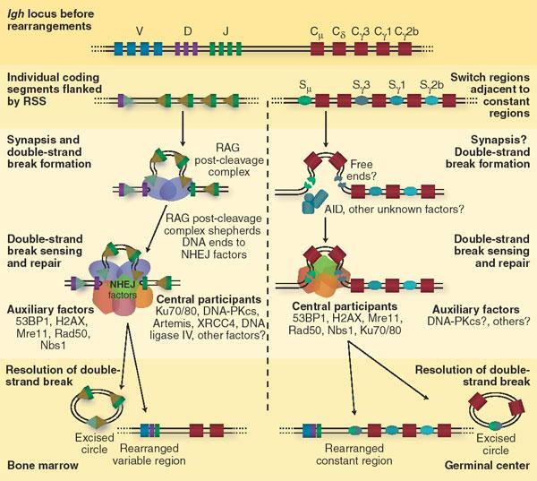 Intelligent T Cells Ni050410