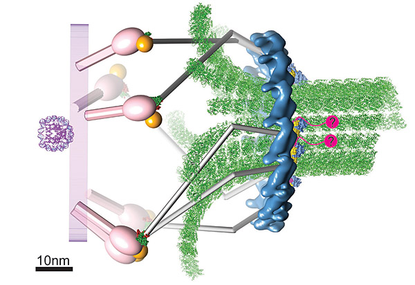 Subunit organization in the Dam1 kinetochore complex and its ring around microtubules Nogale10
