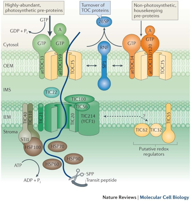 Pathways and mechanisms of protein import and targeting in chloroplasts Nrm37011