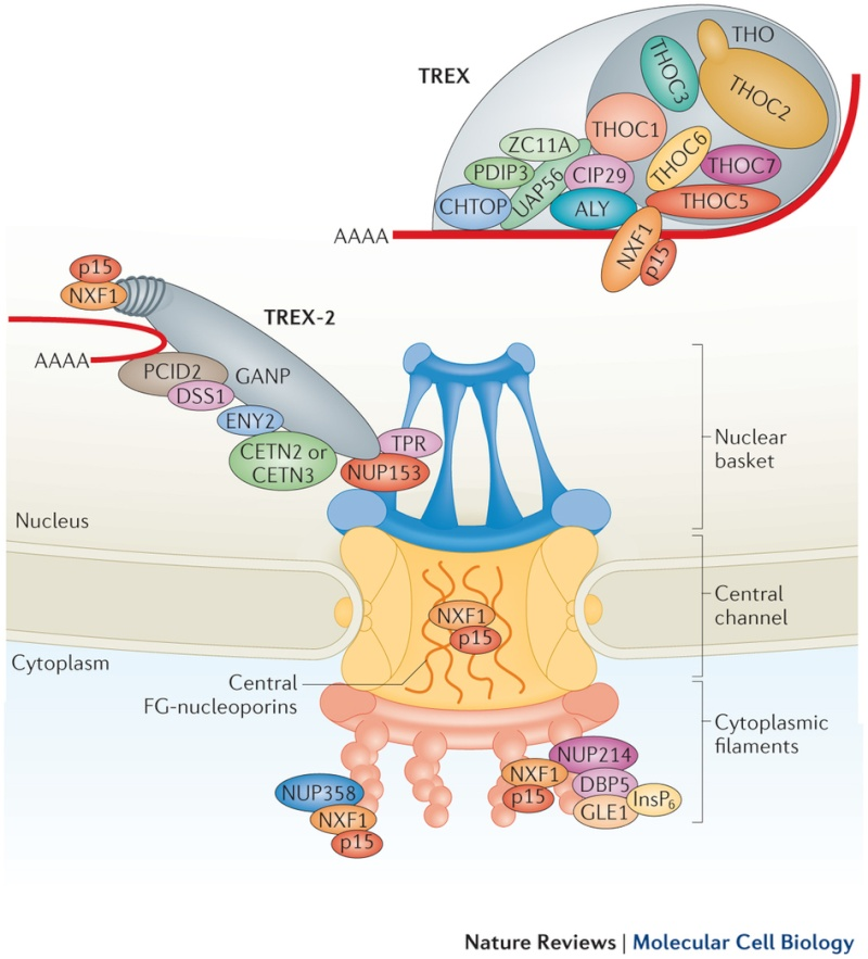 Nuclear pore complexes. Design, or evolution ?  Nrm40114