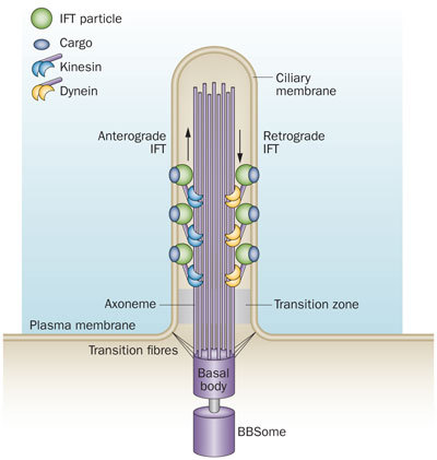 Primary Cilium a Cell's Antenna or Its Brain Nrneur10