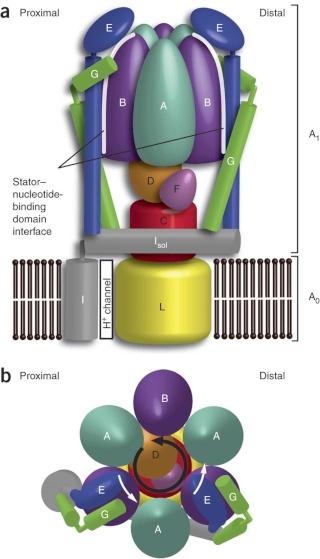 The irreducibly complex ATP Synthase nanomachine, amazing evidence of design Nsmb_117