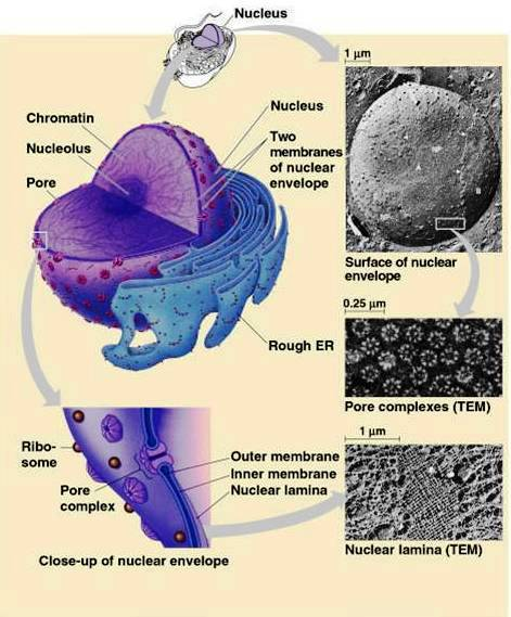 Nuclear pore complexes. Design, or evolution ?  Nucleu10