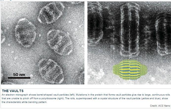 Vault particles, made by a 3d Polyribosome nano-printer Polyri11