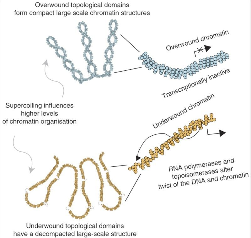 The amazing organisation and design  of DNA, genomes, histones, nucleosomes chromosomes Relati10