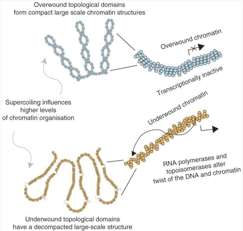 The amazing organisation and design of DNA, genomes, histones, nucleosomes chromosomes Relati10