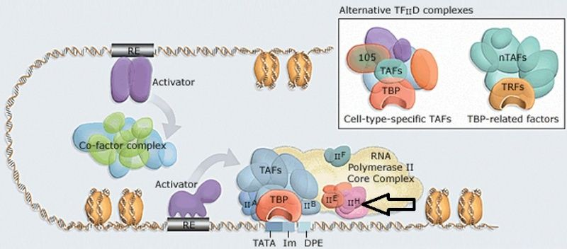 The complexity of  transcription through RNA polymerase enzymes  and general transcription factors in eukaryotes Rna_po10
