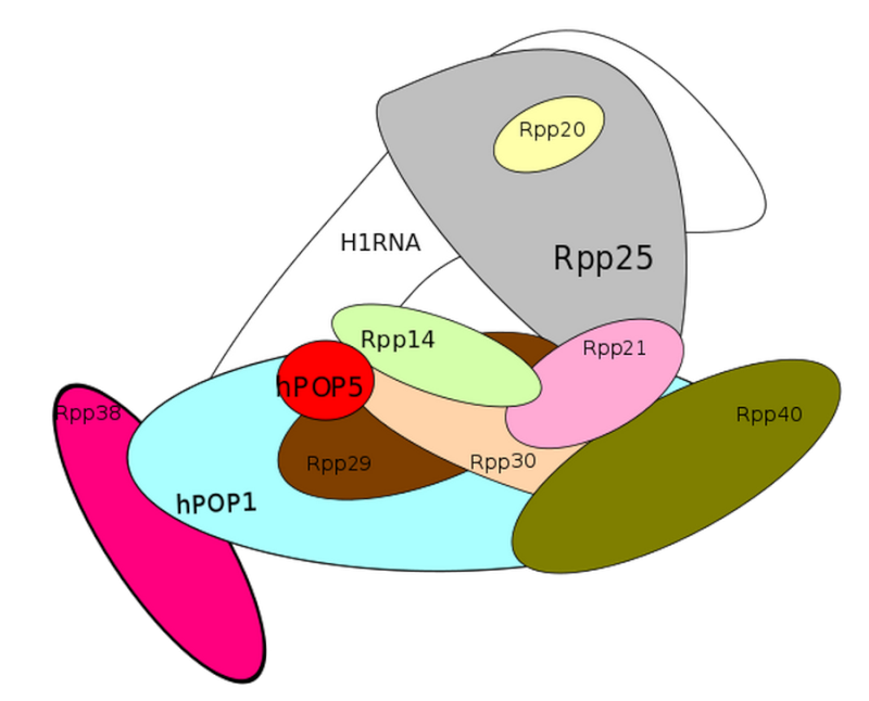 Transfer RNA, and its biogenesis Rnapat17