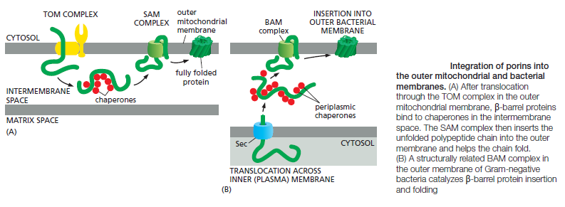 The Transport of Proteins into Mitochondria  Rtertt10