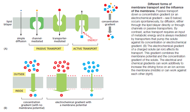 The Transport of Proteins into Mitochondria  Rtewt310