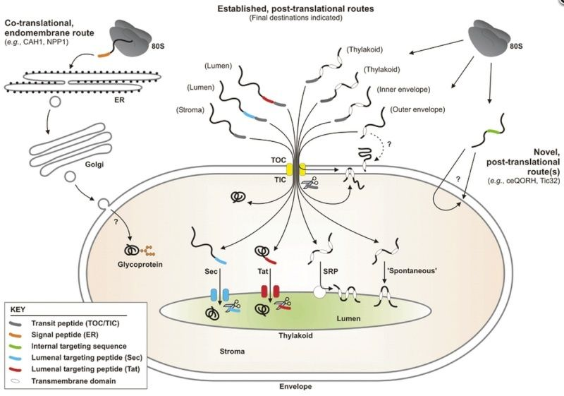 Pathways and mechanisms of protein import and targeting in chloroplasts Rtyrty10